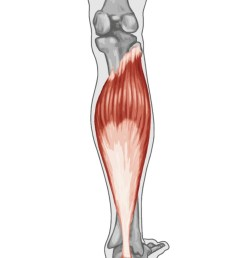 gastrocnemius muscle anatomy human anatomy diagram [ 848 x 1200 Pixel ]