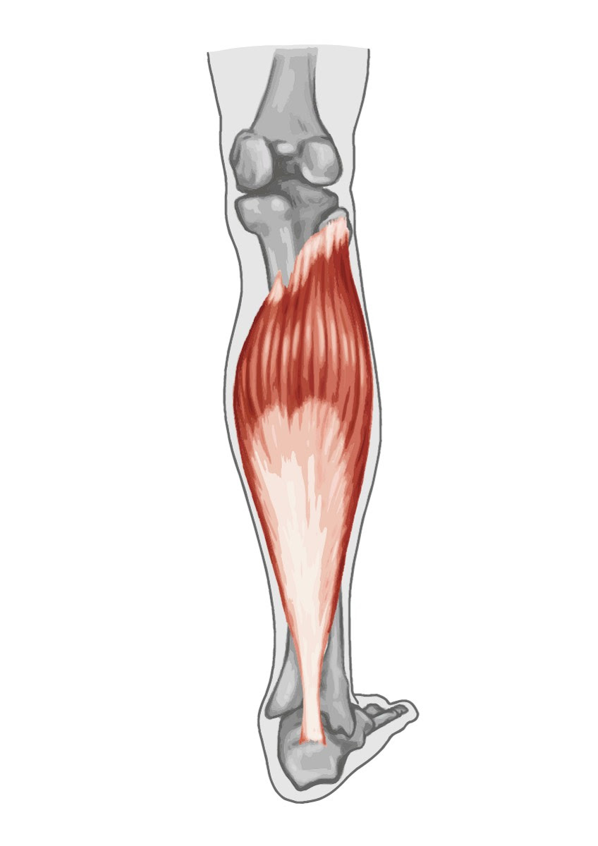 hight resolution of gastrocnemius muscle anatomy human anatomy diagram