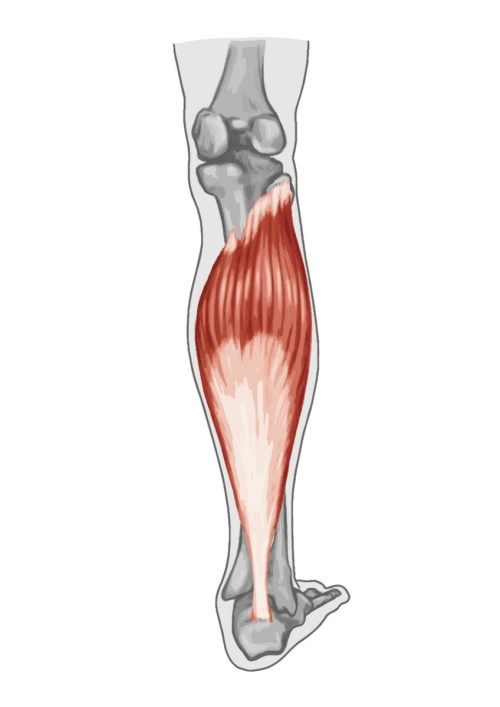 small resolution of gastrocnemius muscle anatomy human anatomy diagram