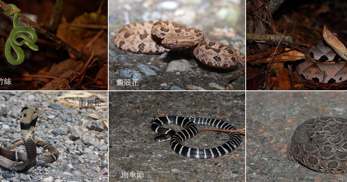 水田船歌 ‧ 琵鴨的生態敘事曲: 臺灣六大毒蛇