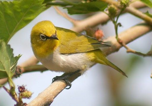 Kicau mp3 dan cara merawat ciri ciri burung pleci montanus dada kuning jantan. Harga Burung Pleci Dada Putih - Ruang Soal