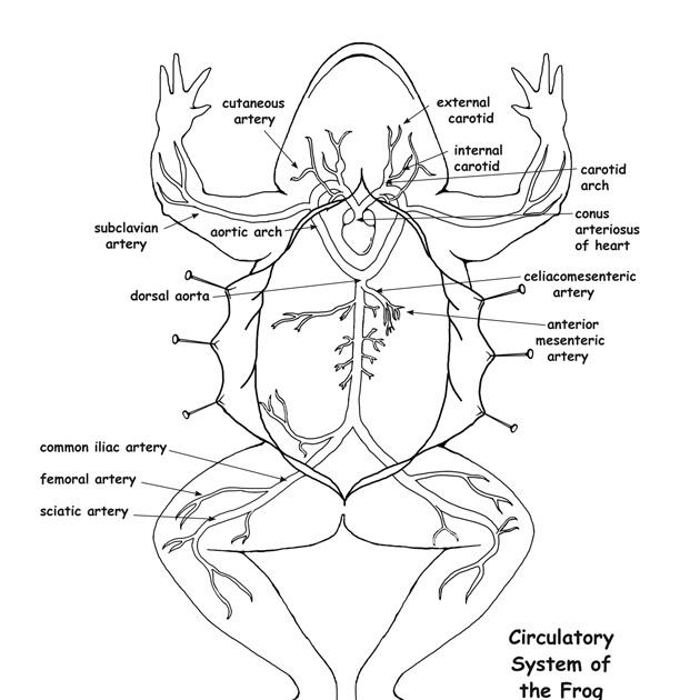 Prep Scholar Gate: A Diagram Of A Frog