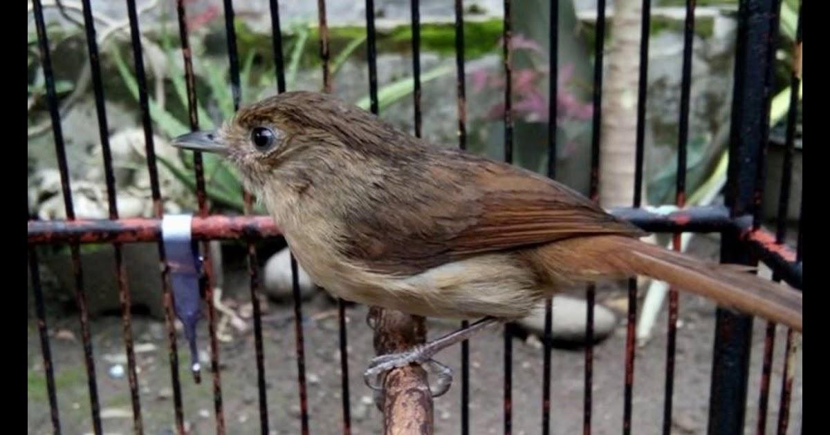 Kelebihan dan kekuangan pleci dada putih (daput). Burung Flamboyan Jantan Dan Betina - Beda Burung Plamboyan ...