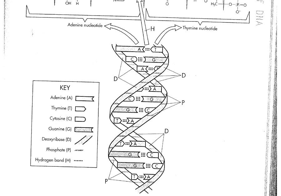 Dna Replication Worksheet Answer Key Quizlet : Biology
