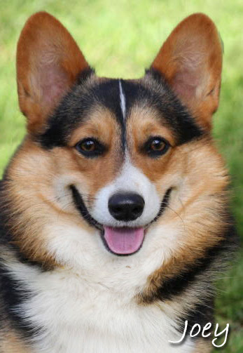 Corgi Puppies For Sale In California : corgi, puppies, california, Cheap, Corgi, Puppies, Petfinder
