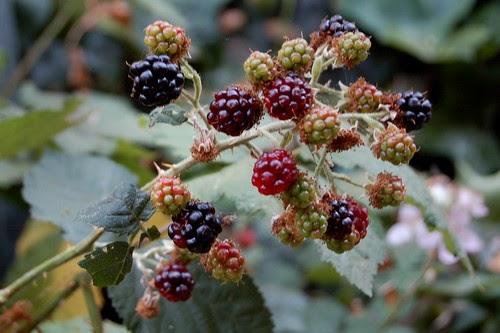 Wild Blackberry Sorbet With Garden Mint  Lavender  The