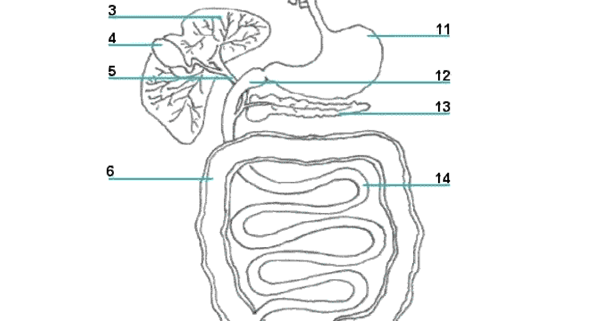 Answer Key Digestive And Excretory System Worksheet