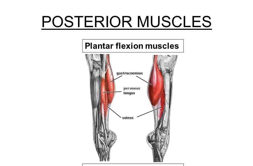 Liveatvoxpop: 2 Main Plantar Flexion Muscles