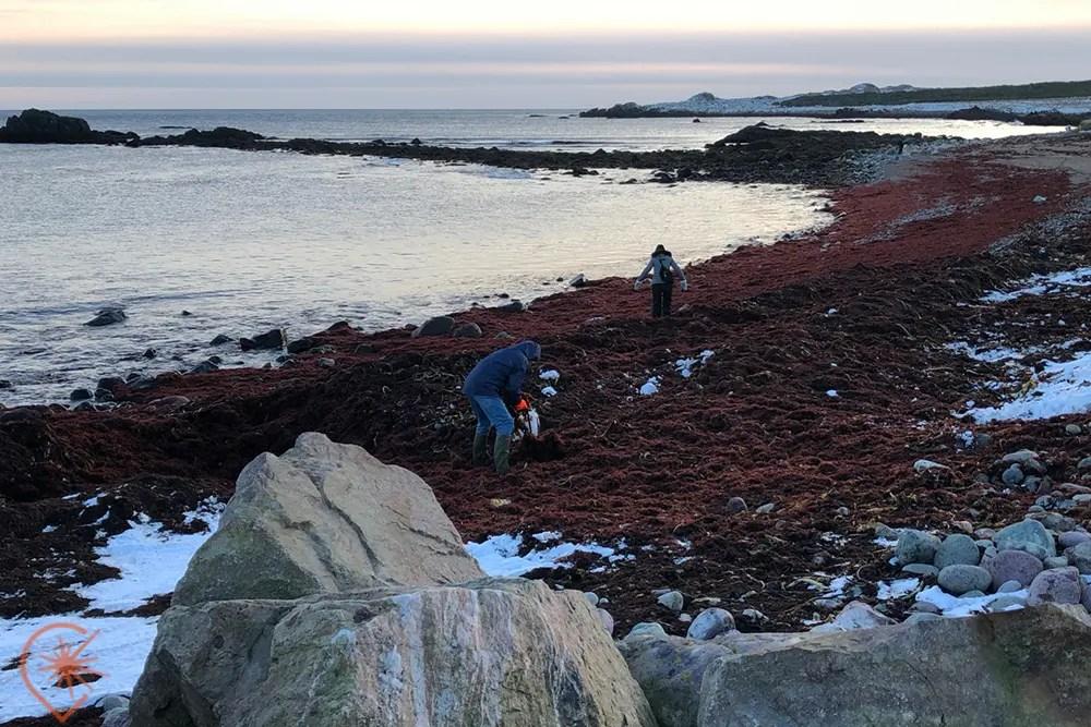 la récolte du goémon à Saint-Pierre et Miquelon