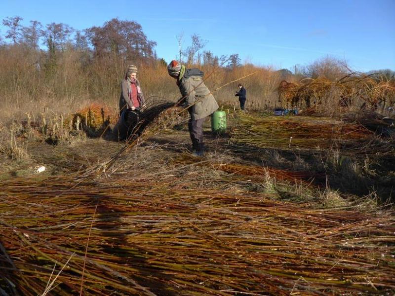 willow harvesting