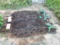 Alcachofas recién plantadas en el huerto