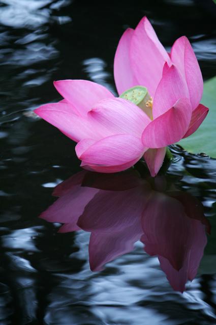 Peaches in Raindrops Sacred Lotus © Lia Chang