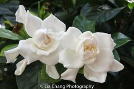 Gardenias. Photo by Lia Chang
