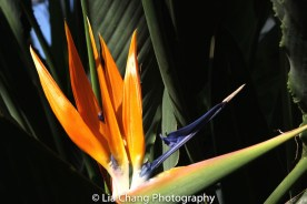 Bird of Paradise. Photo by Lia Chang