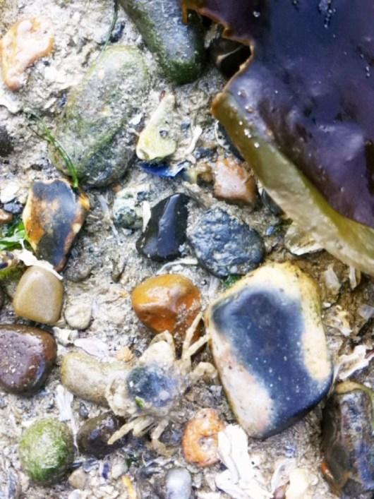 在ㄧ堆小小淡菜間遊走的小小螃蟹