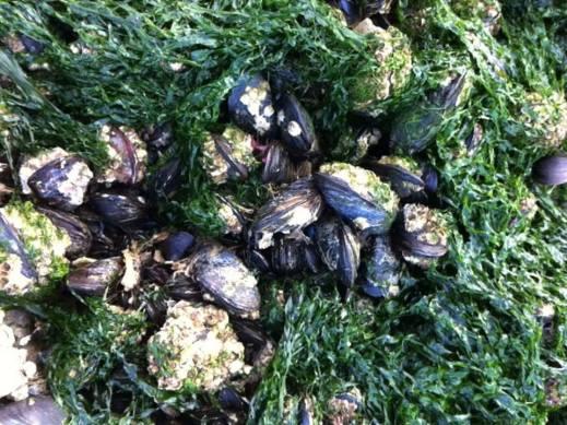 躲在海草下的淡菜Moules