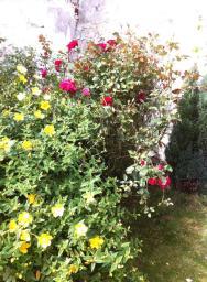 我家庭院的紅玫瑰