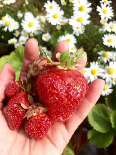 鄉村草莓園03