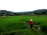 Sticky rice fields in Thailand