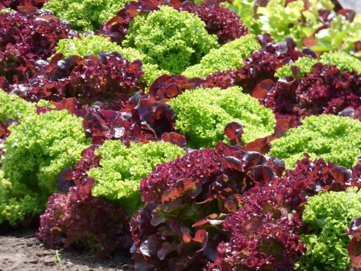 lettuce, red lettuce, green lettuce