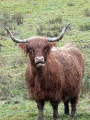 Scottish animal