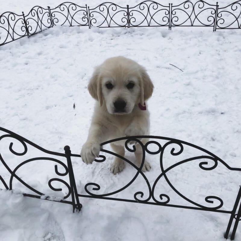 English cream golden retriever waits in Texas snow storm