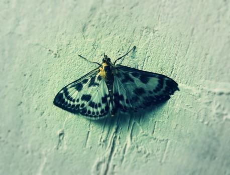 papillon_libellune