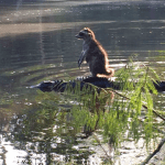 A Raccoon Rides The Back Of An Alligator