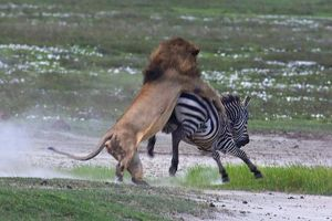 image-6-for-never-cross-a-zebra-you-big-pussy-gallery-839027506