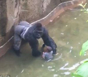 Innocent gorilla can be seen rescuing a child from the water but Obama ordered to gorilla to be shot.