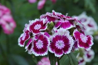 purple flower2