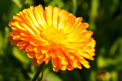 Sun-Filled Daisy