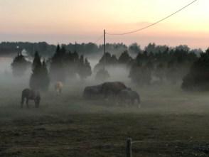 Hevoset usvaisella laitumella Hiidenmaalla - Liberta.fi