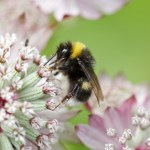bumble-bee-pink-flower