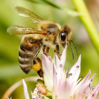 industrious bee like Napoleon's bees