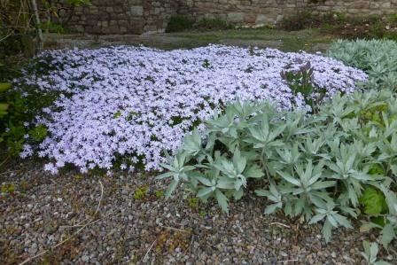 Spring carpet of lilac alpine phlox