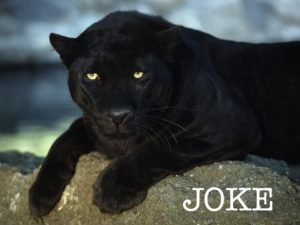 panther at rest but alert with JOKE text
