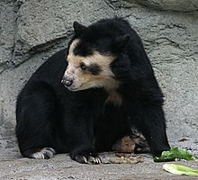 Peru indigenous spectacled bear