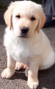 retriever-labrador cross puppy Alex at 8 weeks old