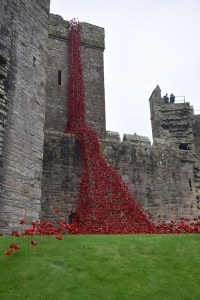 weeping window poppies at Carnarvon Castle