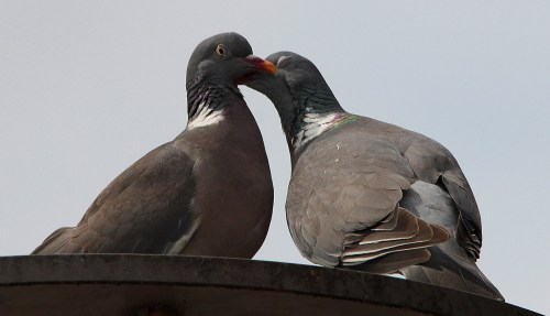 pair of pigeons touching