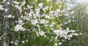 cherry blossom Spring colours