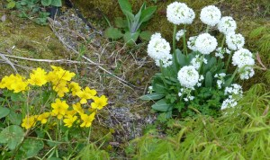 Spring colours of yellow marsh marigolds and white candelabra primula