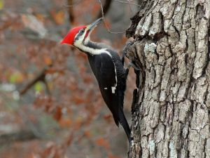 woodpecker on tree trunk