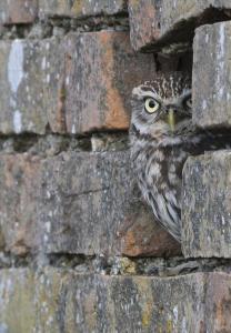 owls,. Little owl