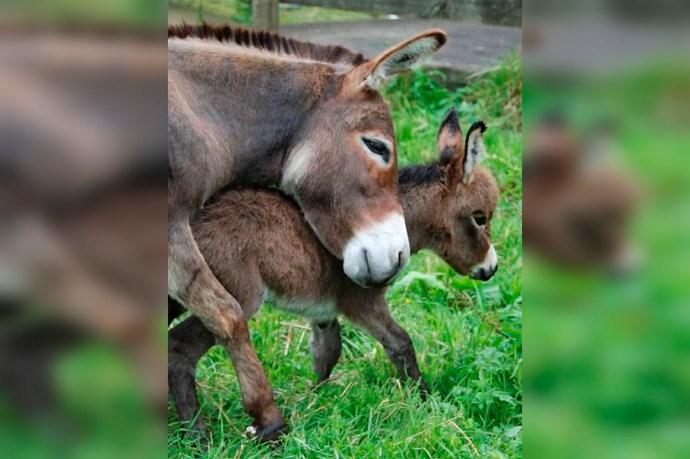 Por avances tecnológicos el burro mexicano podría ser el próximo animal en desaparecer