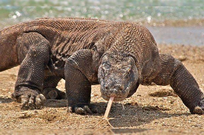 Nueva especie entra en la lista de animales en riesgo. Cambio climático pone en peligro de extinción al dragón de Komodo