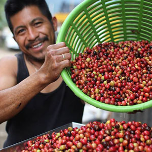 A smiling pouring a basket of coffee berries into a larger container