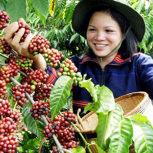 A smiling woman harvesting coffee berries