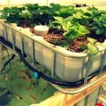 Aquaponics, the Future of Farming